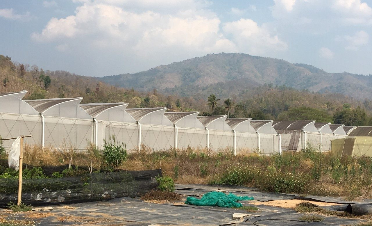 Thai greenhouses for potential hemp growing operations.