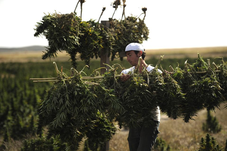 WRAY, CO. - An employee of the Stanley Brothers, originators of high CBD strain Charlotte's Web, DENVER POST VIA GETTY IMAGES